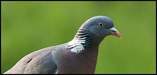 roucoulement du pigeon ramier
